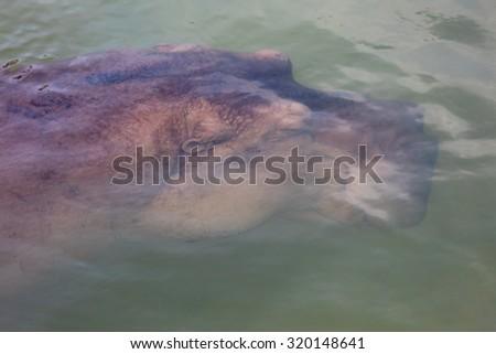 Under water hippopotamus - stock photo