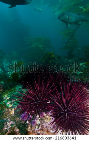 Undersea landscape near Anacapa Island, CA - stock photo