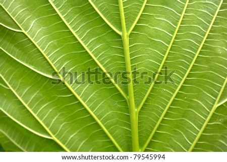 Underside Of A Green Leaf/Green Vein - stock photo