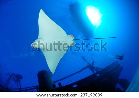 Underside of an Eagle Ray swimming near the USS Kittiwake, Grand Cayman - stock photo