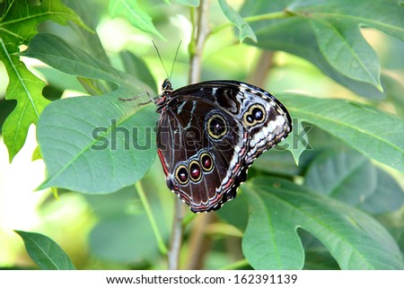 Underside of the blue morpho butterfly resting on a green leaf. - stock photo