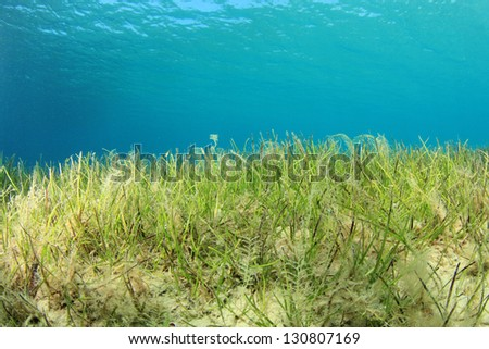 Underwater Background of sea grass in blue water - stock photo