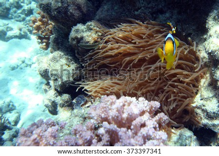 Underwater Coral Reef and Tropical clownfish in Ocean - stock photo