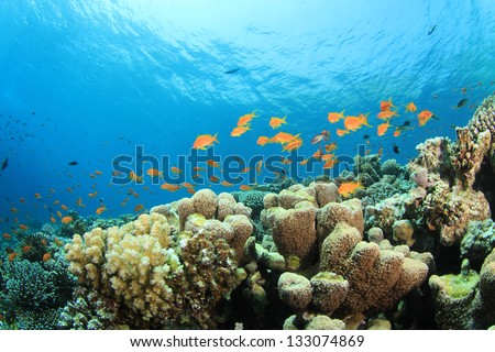 Underwater Coral Reef with Fish in Red Sea