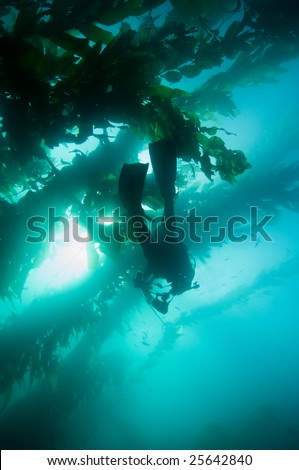 Underwater Diver & Photographer in Giant Kelp (Macrocystis pyrifera) forest - stock photo