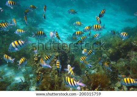 Underwater fish school, Abudefduf saxatilis, swim on coral reef - stock photo