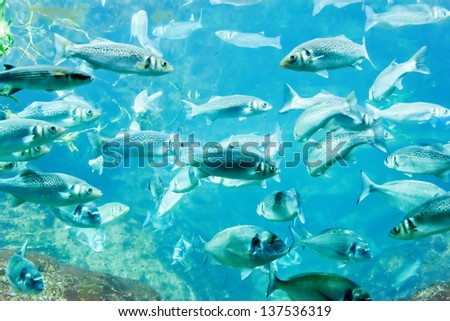 underwater image of a flock of fishes
