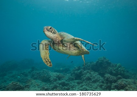 Underwater Image of a Hawaiian Green Sea Turtle
