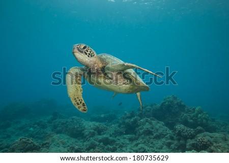 Underwater Image of a Hawaiian Green Sea Turtle - stock photo