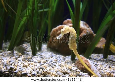 underwater image of a sea dragon - stock photo