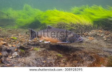 Underwater image of arctic char (Salvelinus alpinus) in clear water river, Greenland