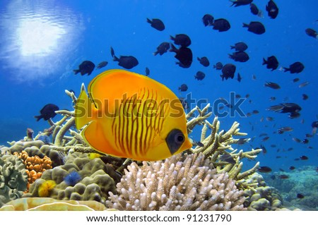 Underwater image of coral reef and Masked Butterfly Fish. - stock photo