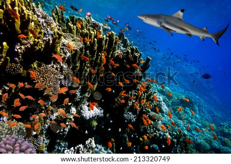 Underwater image of coral reef with shark. - stock photo