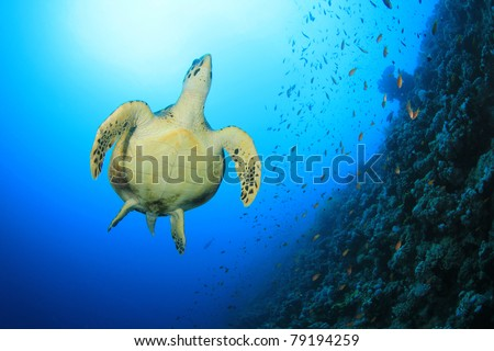 Underwater image of Hawksbill Sea Turtle, Coral Wall, sun in background - stock photo
