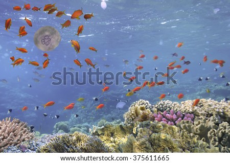 underwater image of jellyfishes, Red Sea. Egypt
