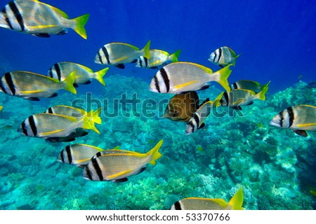 underwater image of tropical fishes (doublebar bream - acanthopagrus bifasciatus) - stock photo