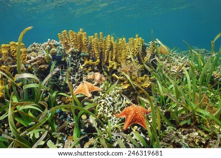 Underwater in a shallow Caribbean coral reef with starfish and sea sponge, Panama - stock photo