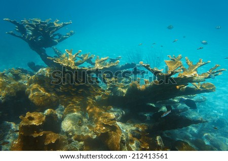underwater landscape in a reef with colonies of elkhorn coral and a shoal of Glassy sweeper fish, Caribbean sea