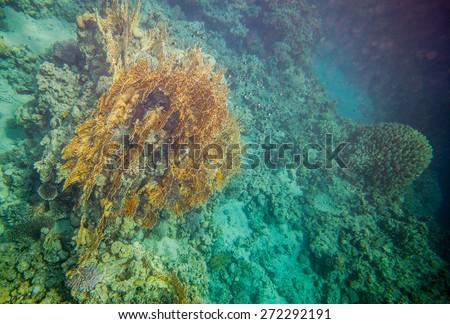 Underwater landscape. Red sea coral reef. Big millepora dichotoma plantation - stock photo