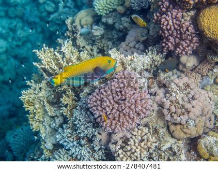 Underwater landscape. Red sea coral reef. Medium size yellow scarus fish - stock photo