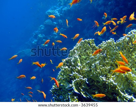 Underwater landscape with coral snd Scalefin Anthias. Red Sea