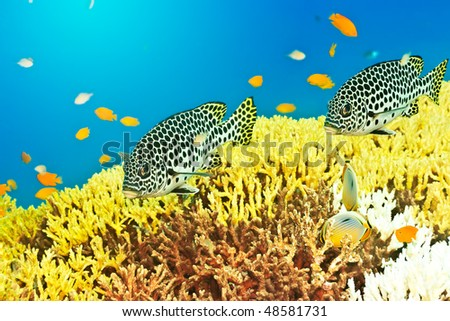 Underwater landscape with couple of Sweetlips - stock photo