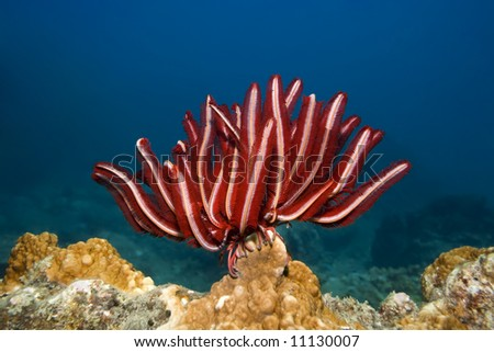 Underwater landscape with Feather star and coral - stock photo