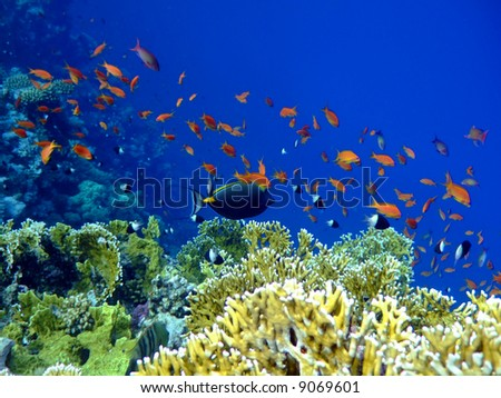 Underwater landscape with Surgeon-fish. Red Sea - stock photo