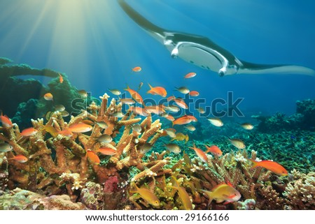 Underwater landscape with tropical fishes and manta ray. Borneo - stock photo