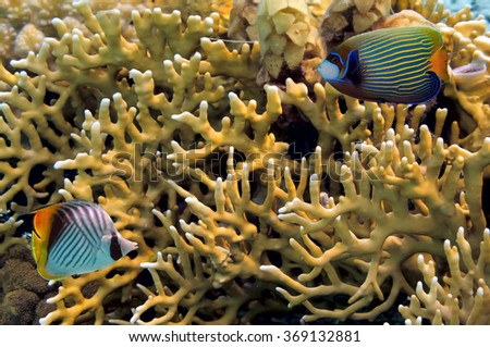 Underwater life, close up image of branching fire coral. Red Sea - stock photo