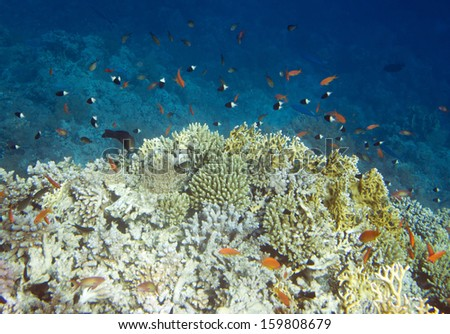 Underwater life of Red sea in Egypt. Saltwater fishes and coral colony reef