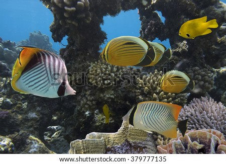 Underwater life of Red sea in Egypt. Saltwater fishes and coral reef - stock photo