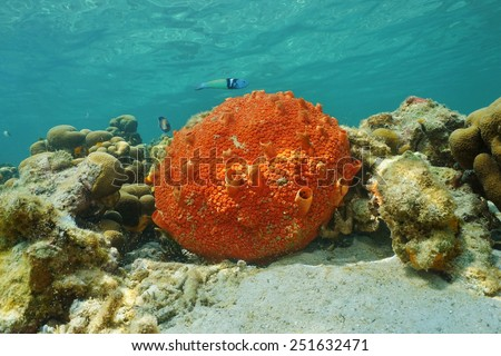 Underwater life, red encrusting sponge, Cliona delitrix, on shallow seabed of the Caribbean sea - stock photo