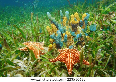 Underwater life with colorful sponges and starfish surrounded by seagrass in the Caribbean sea - stock photo