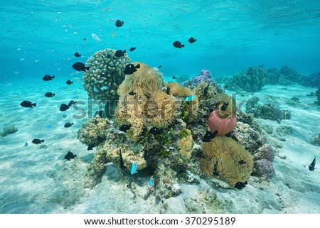Underwater marine life, fish with sea anemones and corals, lagoon of Huahine, Pacific ocean, French Polynesia - stock photo