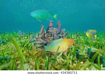 Underwater marine life on a grassy seabed with sea sponges and colorful tropical fish, Caribbean sea - stock photo