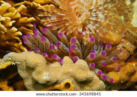 Underwater marine life, tentacles of giant Caribbean sea anemone between coral and a feather duster worm, Mexico - stock photo