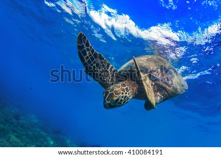 Underwater marine sealife wildlife postcard. A turtle diving under water surface with sky image on it. Closeup image from Maui island in Hawaii - stock photo