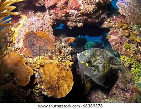 Underwater off the coast of Roatan Honduras - French Angelfish (Pomacanthus paru) - stock photo