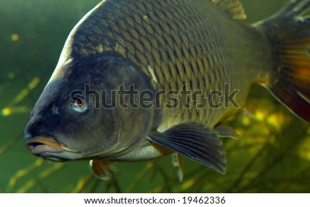 Underwater Photo Big Cyprinus Carpio in Bolevak Pond - famous anglig and diving place - Pilsen City Czech Republic Europe