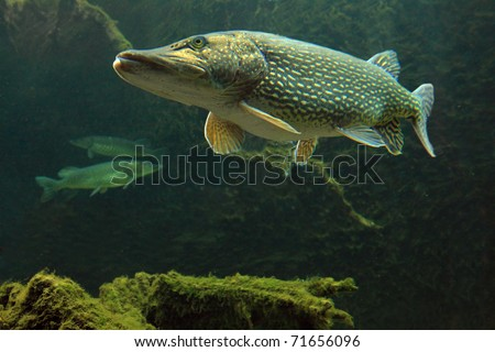 Underwater Photo Big Pike (Esox Lucius) in Bolevak Pond - famous anglig and diving place - Pilsen City Czech Republic Europe - stock photo