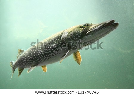 Underwater photo big Pike (Esox Lucius). Trophy fish in Czech lake Hracholusky.