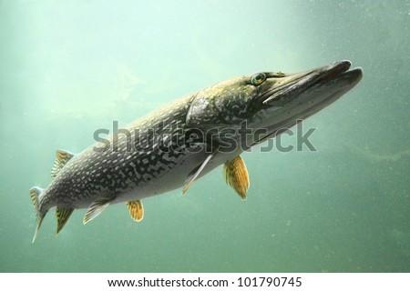 Underwater photo big Pike (Esox Lucius). Trophy fish in Czech lake Hracholusky. - stock photo