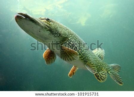 Underwater photo big Pike (Esox Lucius). Trophy fish in Hracholusky lake, Czech Republic, Europe. - stock photo