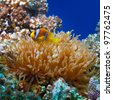 underwater photo coral garden with anemone and a pair of yellow clownfish - stock photo