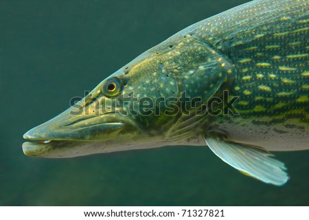 Underwater photo of a big Pike (Esox Lucius) - stock photo