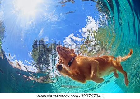 Underwater photo of golden labrador retriever puppy in outdoor swimming pool play with fun - jumping and diving deep down. Activities and games with family pets and popular dog on summer holiday. - stock photo