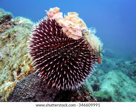 Underwater photo of Purple Sea Urchin in natural habitat the sea with yellow coral in background. Blue sea - stock photo