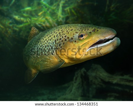 Underwater photo of The Brown Trout (Salmo Trutta) in a alpine lake. Close up with shallow DOF. - stock photo
