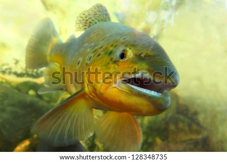 Underwater photo of The Brown Trout (Salmo Trutta) in a mountain river. Close up with shallow DOF. - stock photo